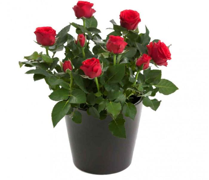 Trandafir de camera in ghiveci