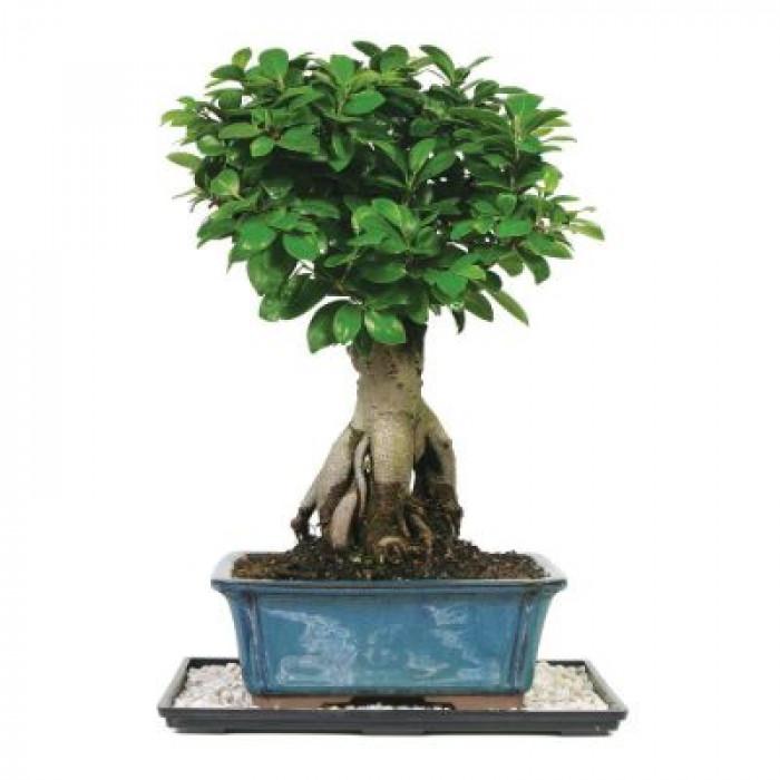 Bonsai japonez, Ficus