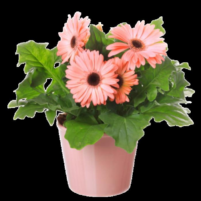 Gerbera in ghiveci - Flori de camera